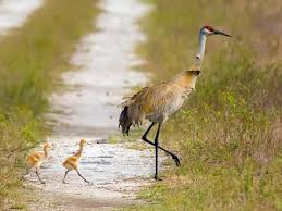 Crane Conservation